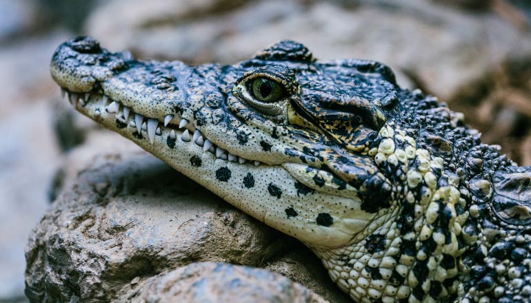 Closeup view of an alligator with sharp teeth and speckled scales living in the bayou