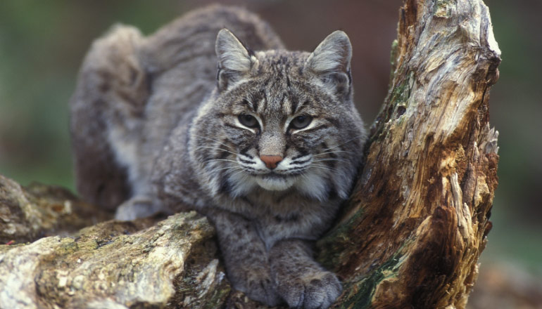 A gray and white bobcat lounges between a rock and an old tree stump