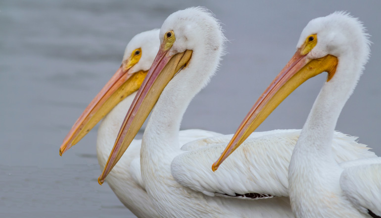 3 white pelicans with long yellow and pink peaks stand by the gray water of the Louisiana bayou
