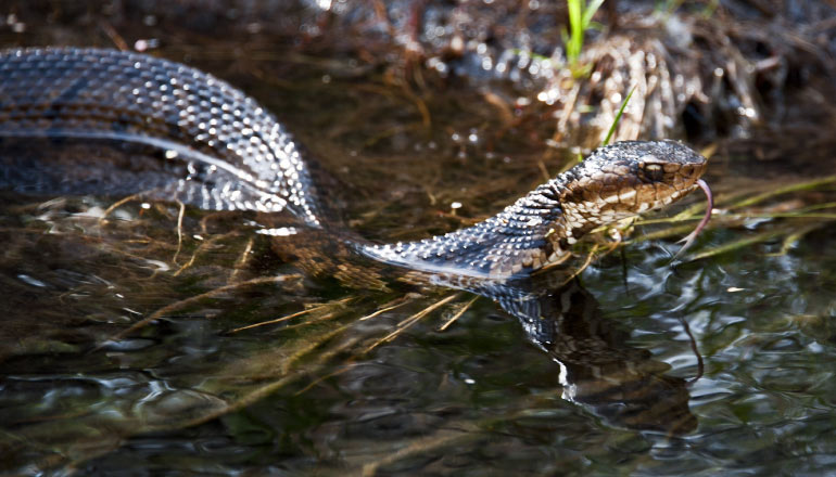 A water moccasin snake swims in the water of the Louisiana bayou